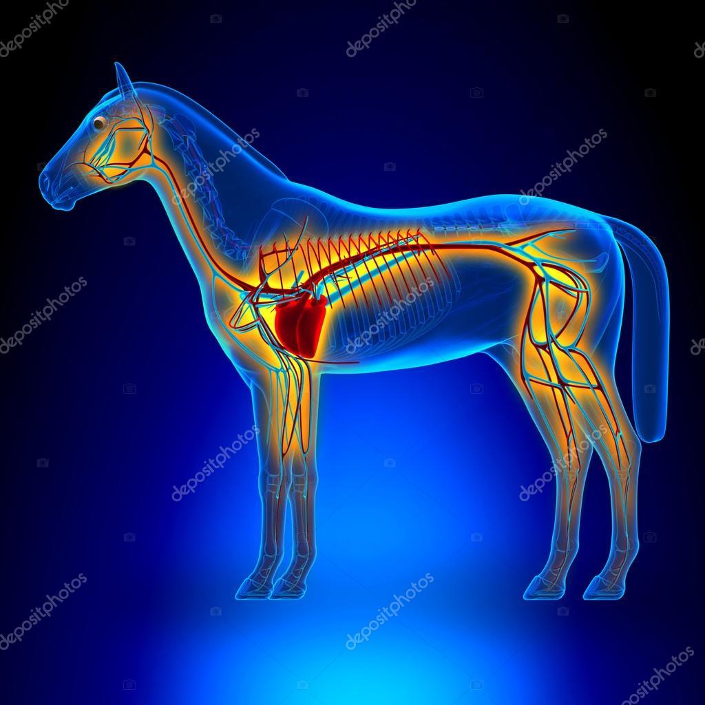 Pferd-Herz-Kreislauf-System - Pferd Equus Anatomie - auf blau b ...