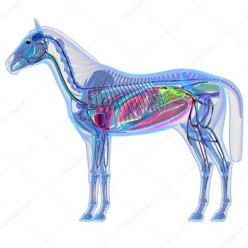 Pferde-Anatomie - innere Anatomie eines Pferdes — Stockfoto ...
