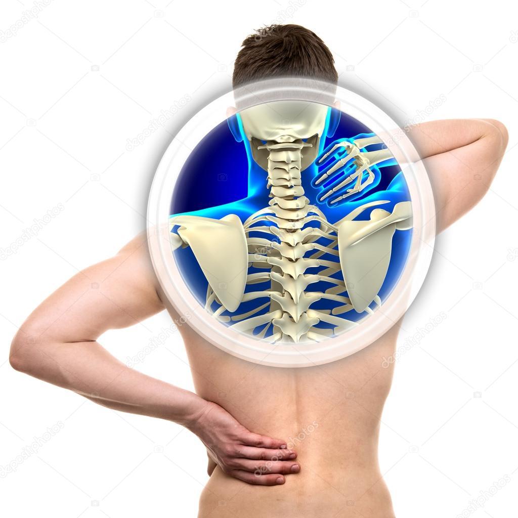 Isoliert auf weiss - Konzept der realen Anatomie Halswirbelsäule ...