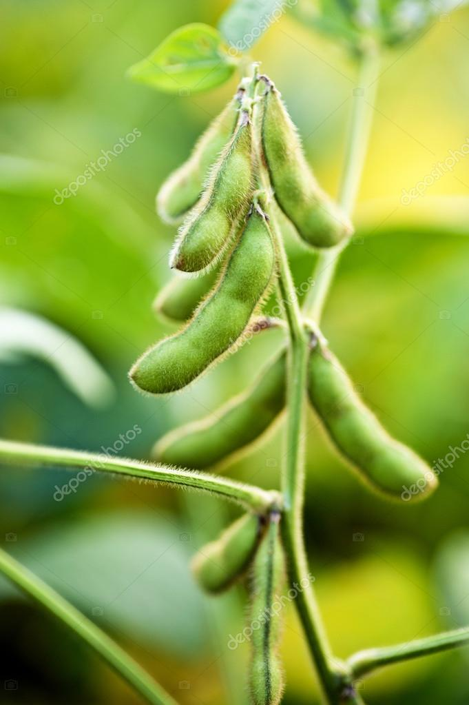 Soybean Plant Close Up In Field