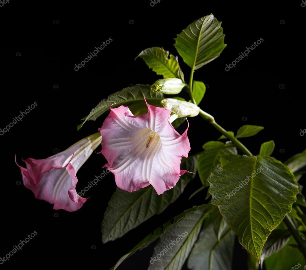 Datura Flower Stock Photo Vbaleha 85152398