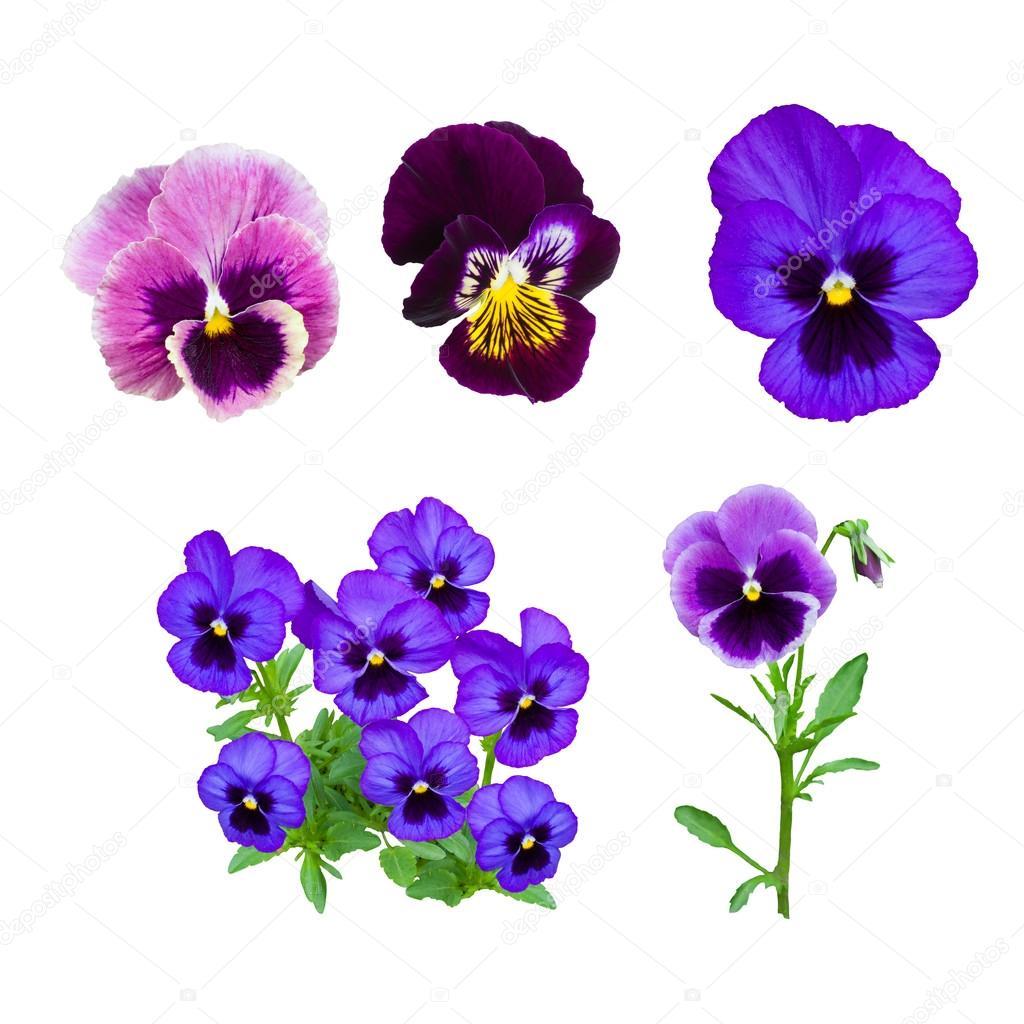 Fleur pensee bleue fonc photographie likka 103651192 - Pensee fleur vivace ou annuelle ...