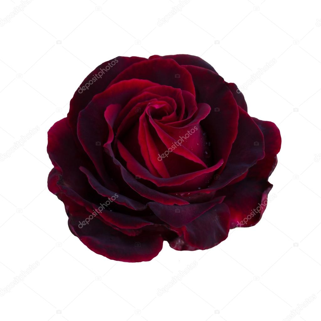 Une Rose Rouge Fonce Photographie Likka C 120902562