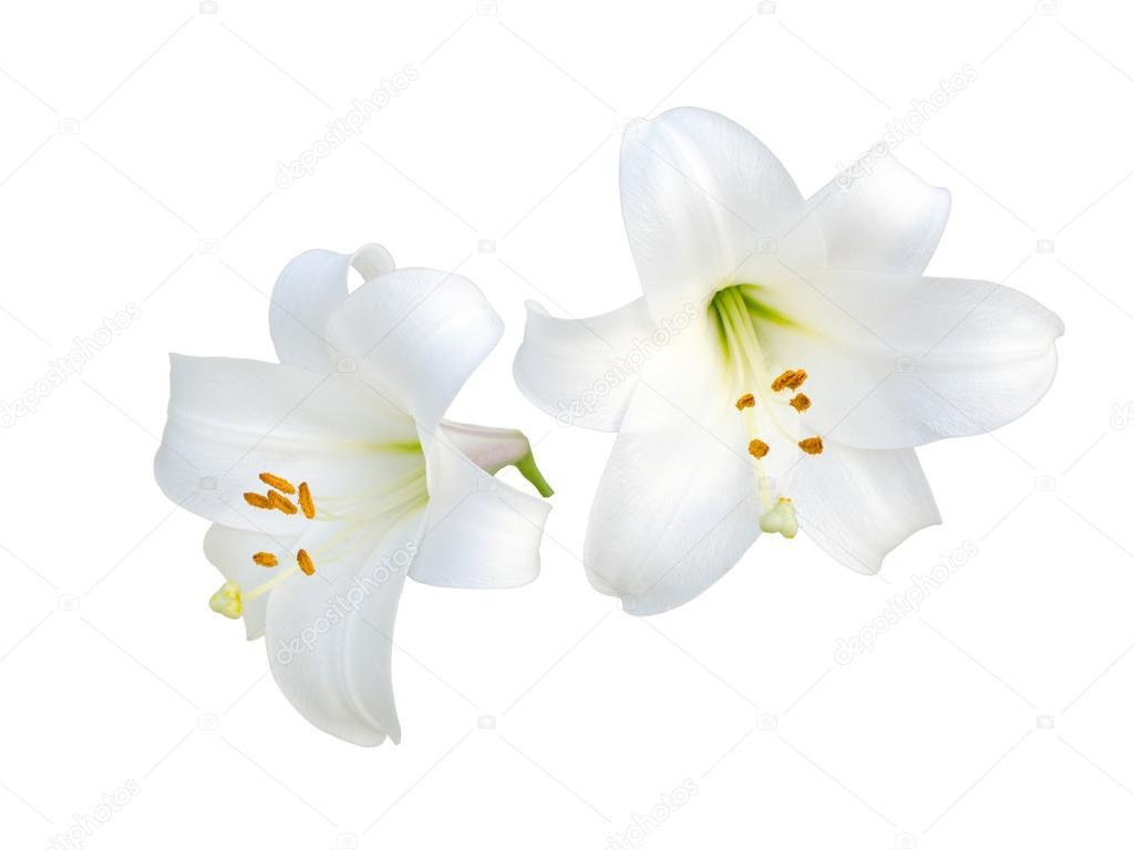Lily varieties flowers stock photo likka 61040249 lily varieties flowers stock photo izmirmasajfo