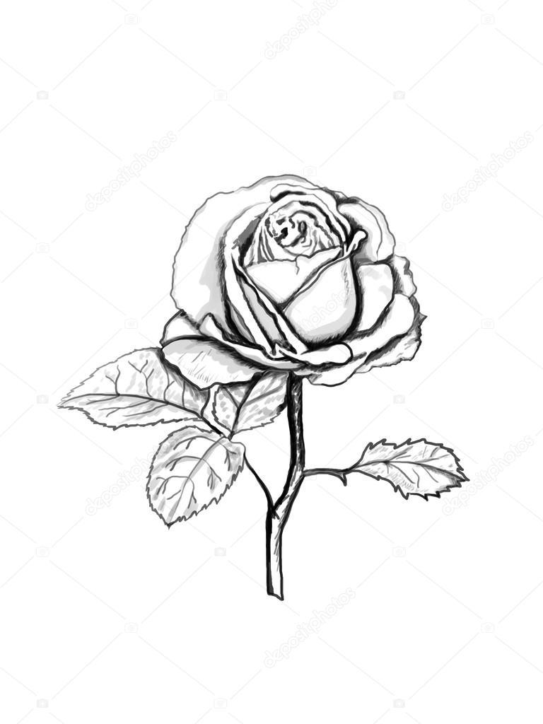 Rose sketch.