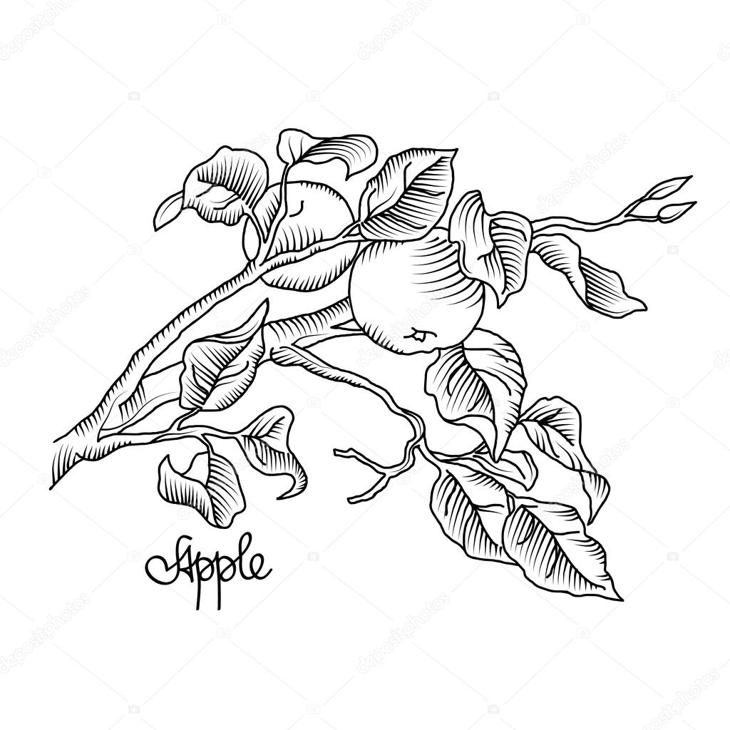 Una rama del Manzano de dibujo a mano. Ilustración de vector ...