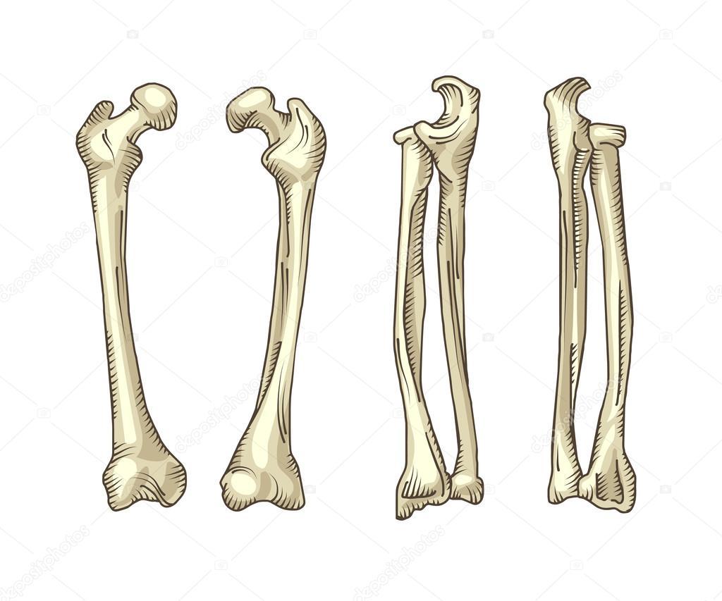 Huesos humanos realista dibujados a mano — Vector de stock © vextok ...