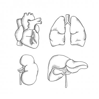 human organs illustrations set