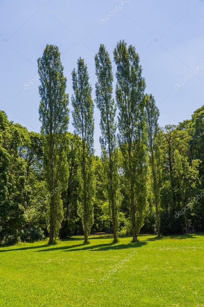 München Englisch Garten Pappeln U2014 Stockfoto #91017228