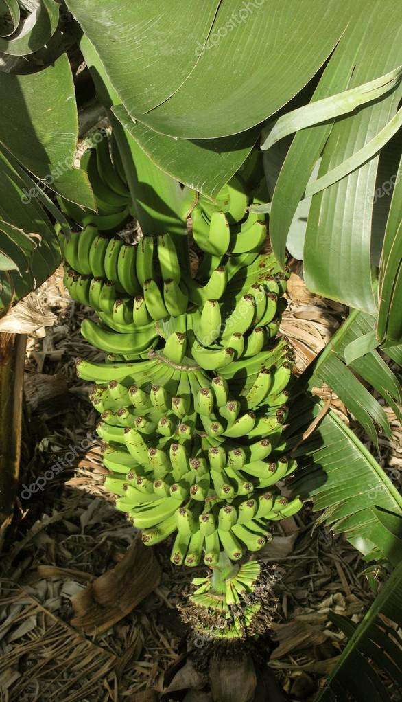 Banana tree in Spain. Canary Islands. La Palma