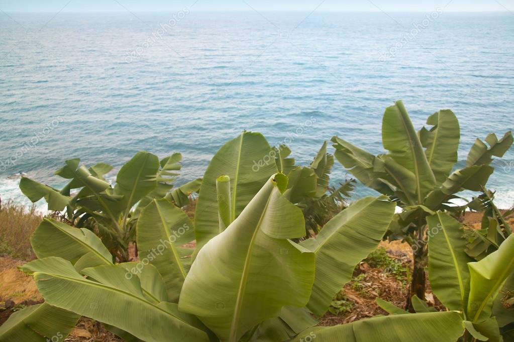 Banana tree near the ocean. Gomera. Canary Islands