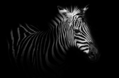 Zebra portrait - black background