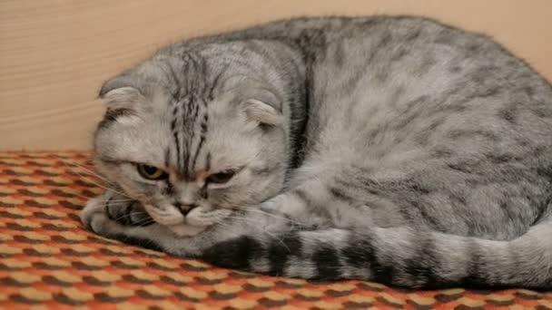 A szürke macska -ból skót tenyészt alszik gyengéden -on kanapé.Közelkép -ból egy szürke skót macska -val nagy barna szem.