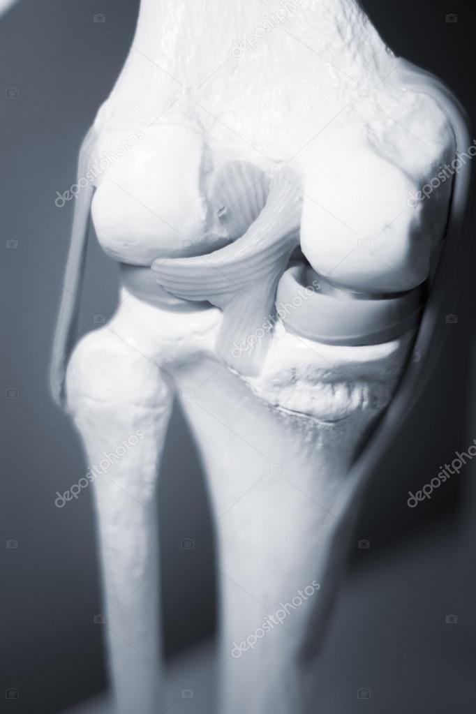 Knie Meniskus gemeinsame Sehne Modell — Stockfoto © edwardolive ...