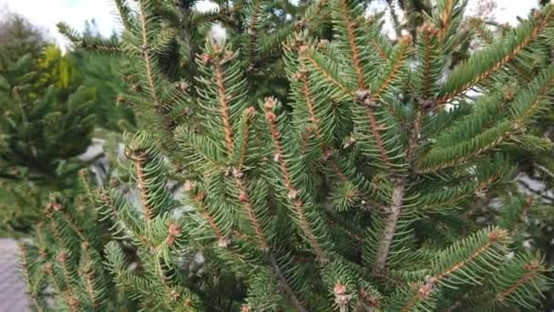Close-up. Spruce branches with chipped fluffy green needles against blue sky.