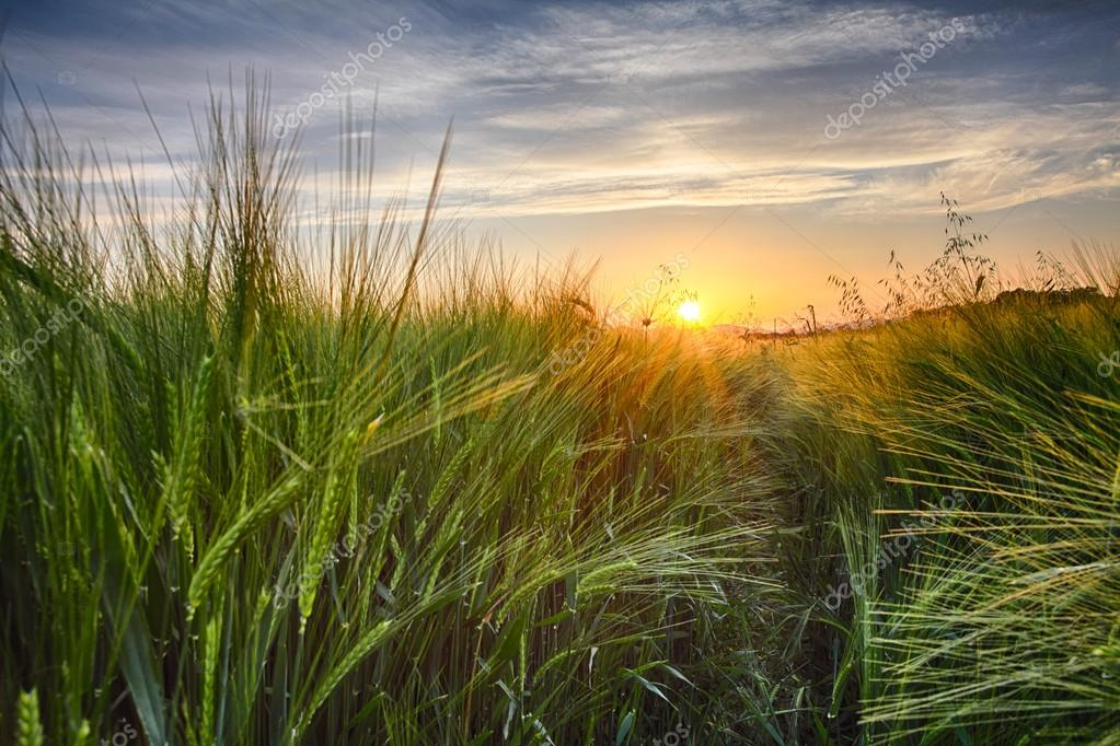 Фотообои Rural landscape with wheat field on sunset