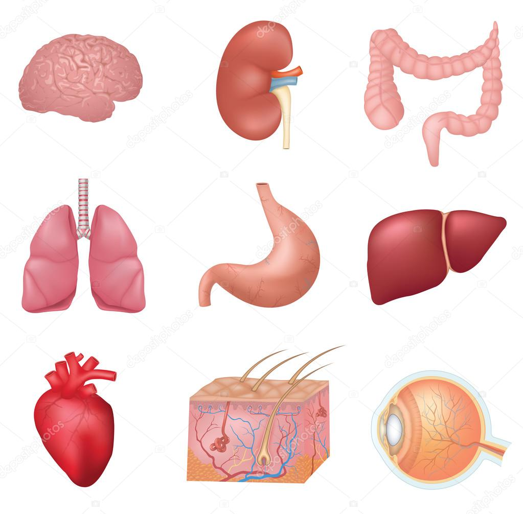 Human Internal Organs — Stock Vector © Opka186 #90406684