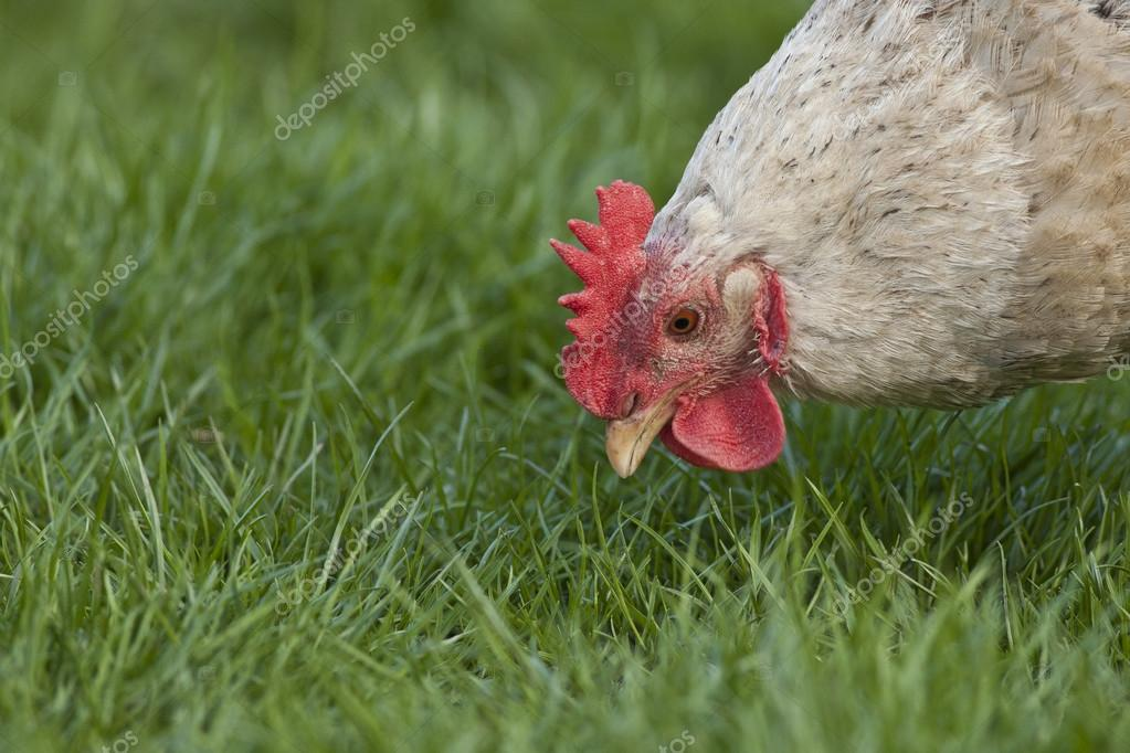 Ei Voor In De Tuin.Leggen Van Ei Kip In De Tuin Stockfoto C Hopf23 72206951