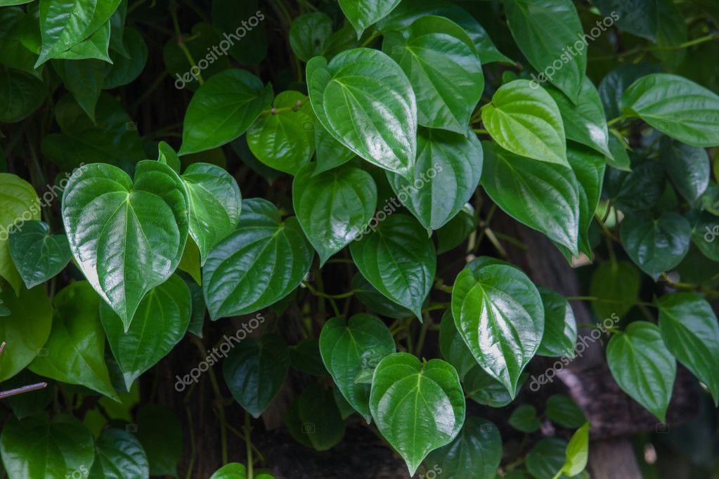 Betel green leaves growing in graden