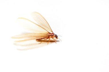 Winged Termites