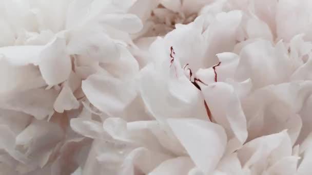 Bílé pivoňky v květu, pastelové pivoňkové květy jako sváteční, svatební a květinové pozadí