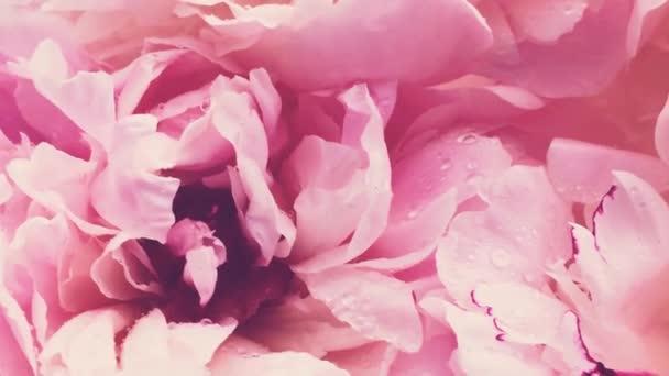 Růžové pivoňky v květu, pastelové pivoňkové květy jako svátky, svatby a květinové zázemí