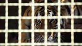pruhovaný tygr hledící na kameru skrz klec s rozmazaným popředím