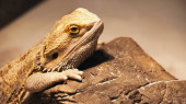 divoký chameleon lezení na kameni