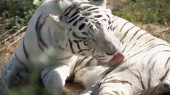 sunlight on striped white tiger licking fur outside