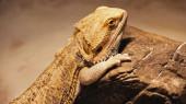 divoký chameleon lezení na skále