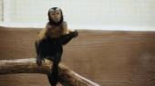 divoká chlupatá opice sedící na dřevěné větvi s organickými bramborami