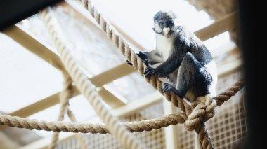 Vahşi maymun hayvanat bahçesinde iplerde oturuyor. Önü bulanık.