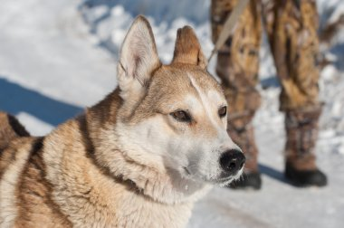 Photo of far Eastern hunting  husky