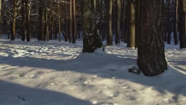 Die Sonne scheint durch die Kiefern im Winterwald. Schöne kalte Landschaft.