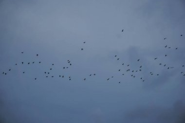 A flock of flying foxes flying from one island to another