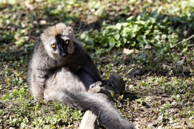A male Red-fronted Lemur, Eulemur fulvus rufus, sits on the ground and observes the surroundings