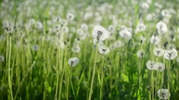 Pampelišky houpat se ve větru