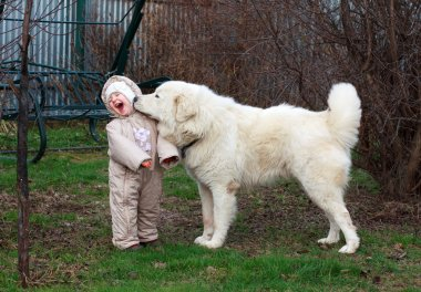 Little cute toddler girl playing with her big white shepherd dog