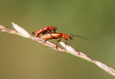 A pair of common red soldier beetles (Rhagonycha fulva) mating,