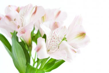 flowers of pink alstroemeria on white background