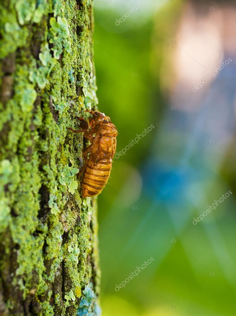Cicada nymph climbing tree