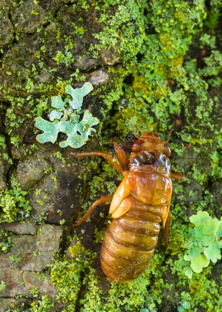 Cicada nymph on tree