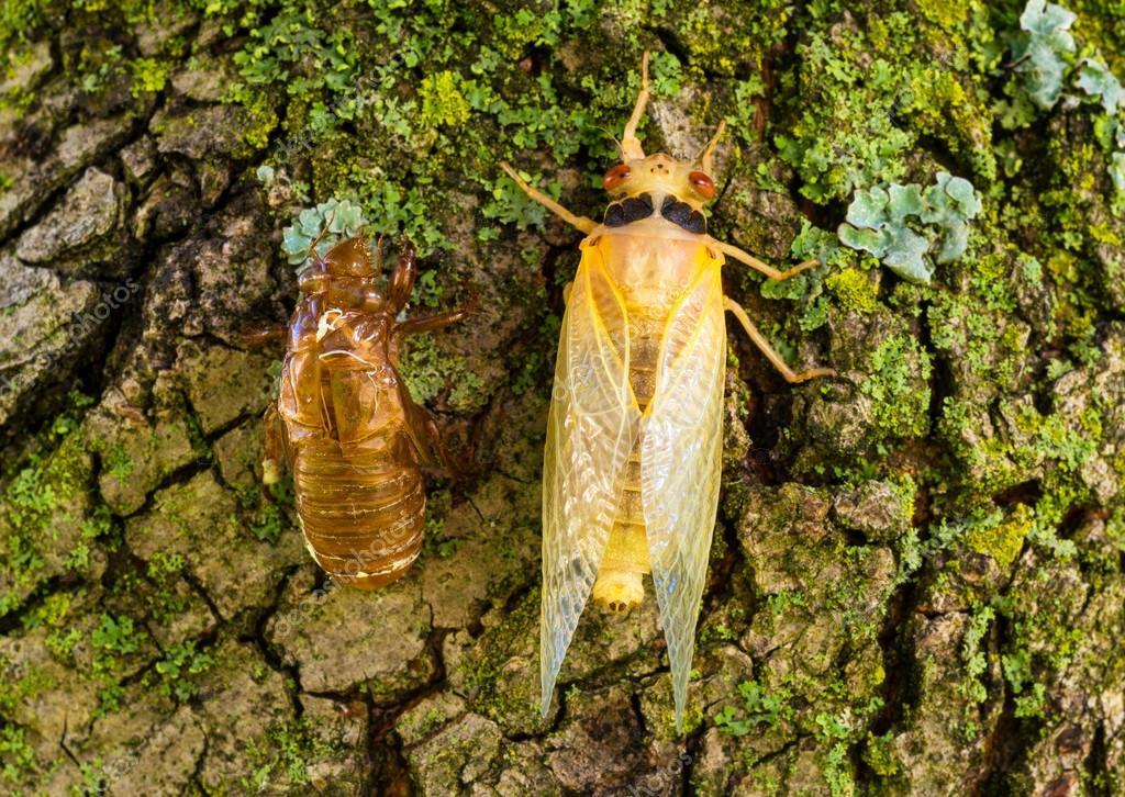 Newly molted cicada
