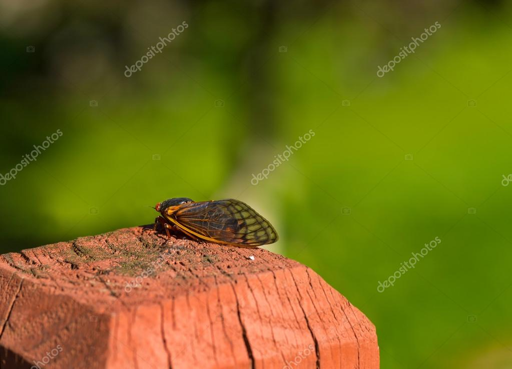 Adult cicada resting
