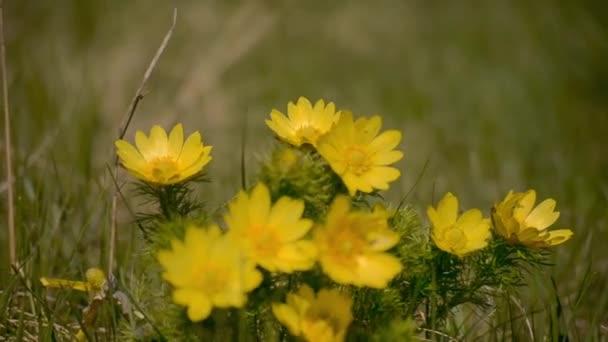 Žluté divoké květy na louce se houpají ve větru. Detailní záběr, rozmazané pozadí