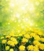 virágzó sárga pitypang