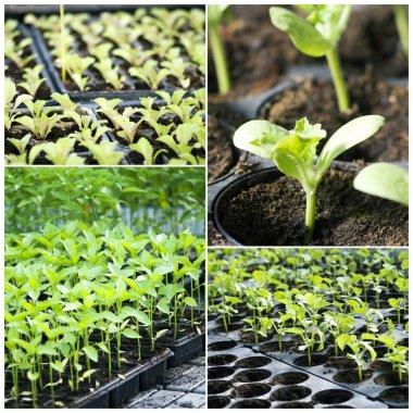 Organic vegetable seedlings