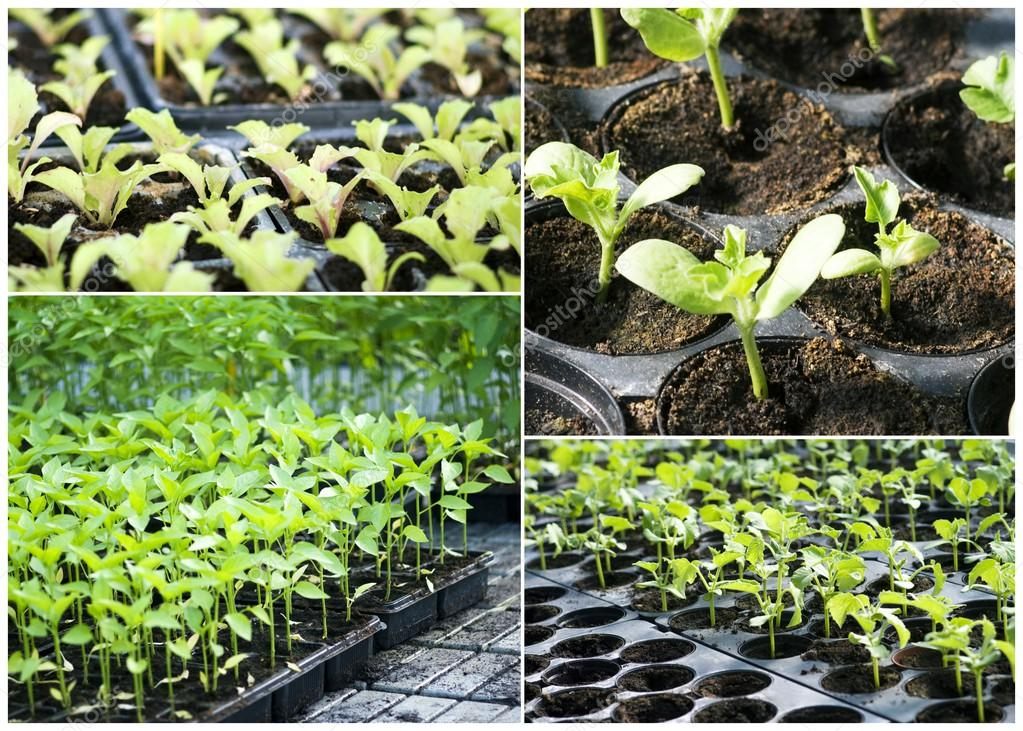 Organic vegetable seedlings
