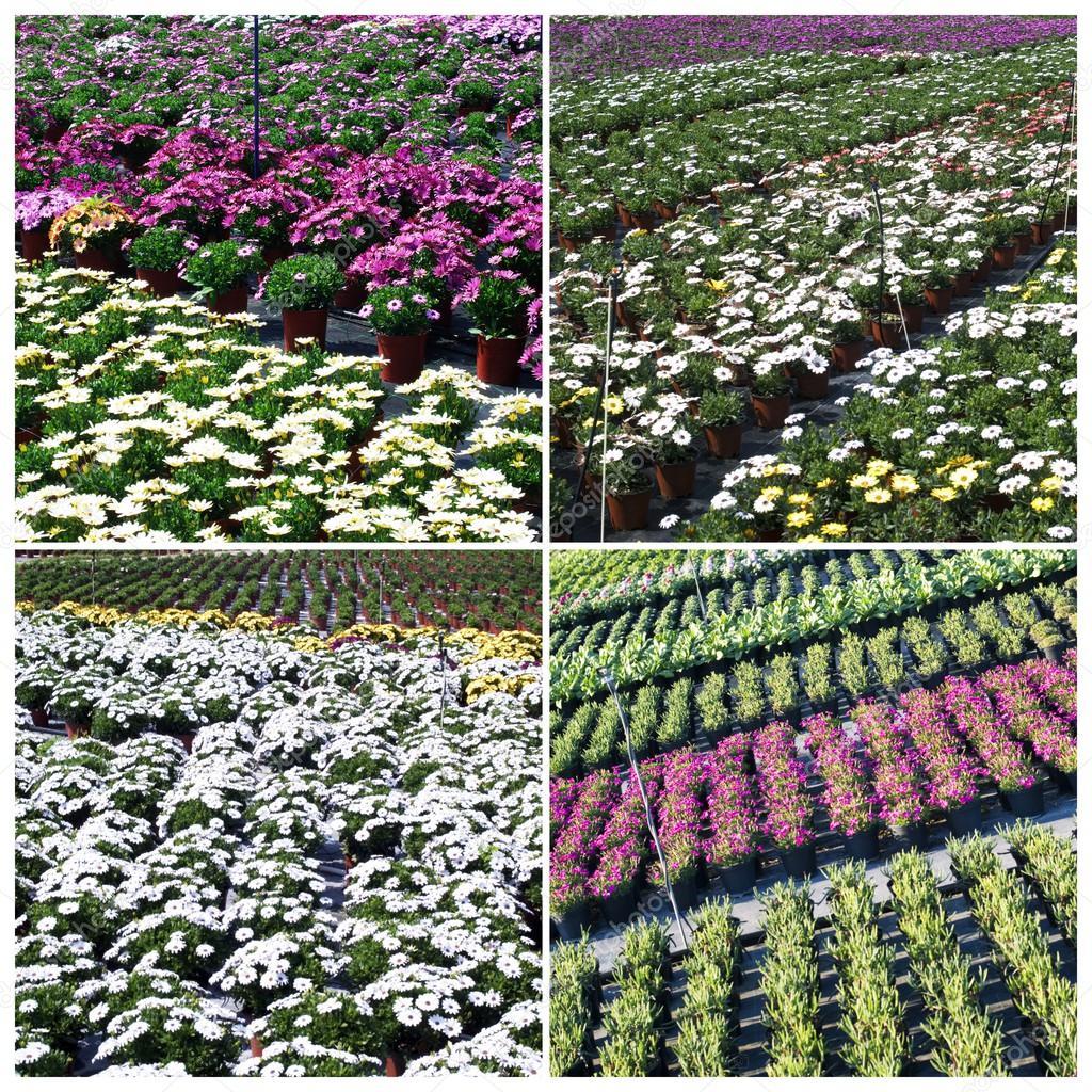 Plantas comerciales de cultivo en invernadero fotos de for Plantas para invernadero
