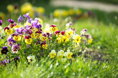 Colorful violets in the grass